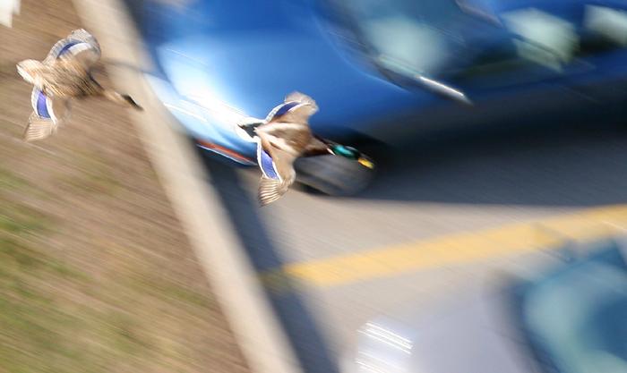 Fast ducks